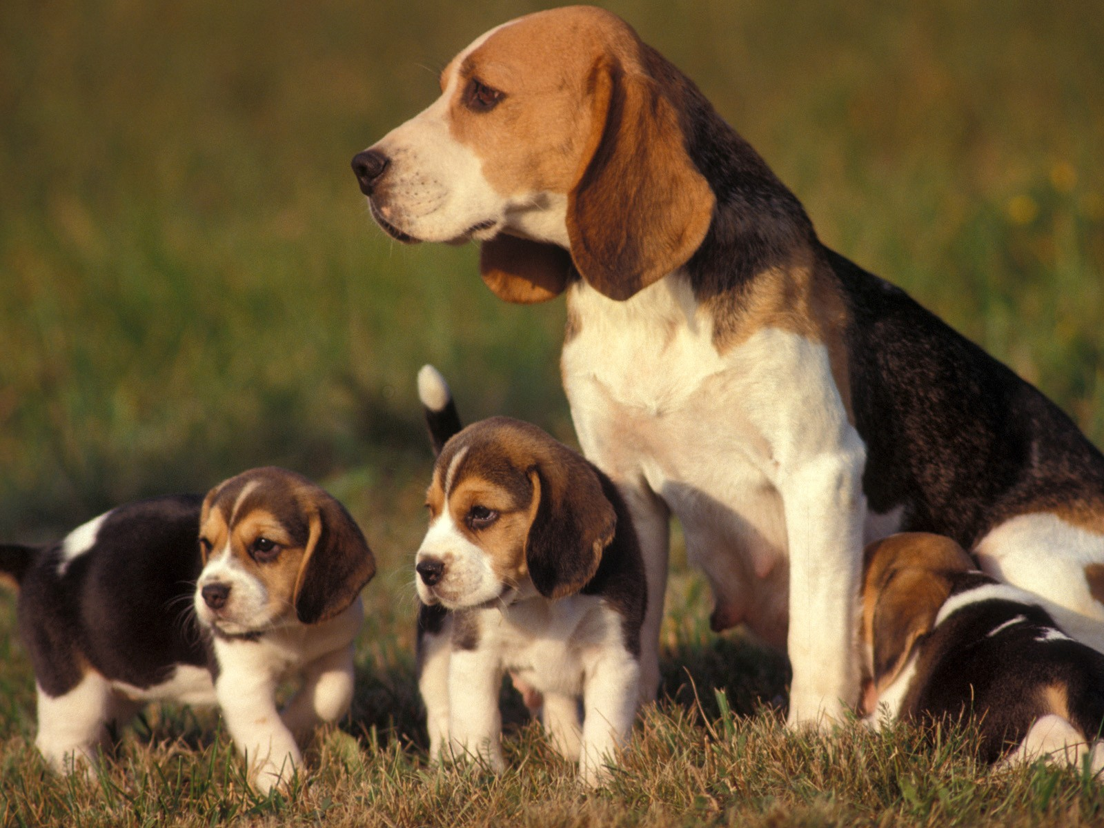 Beagle-mom-and-pups
