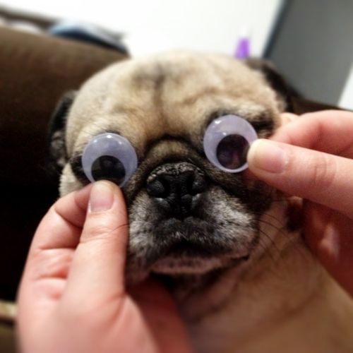 pug-with-googly-eyes-1354599326_b