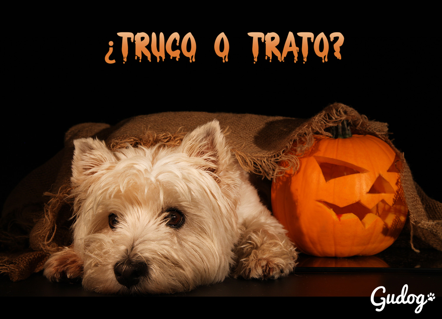 Sweet dog, west highland terrier with Halloween pumpkin