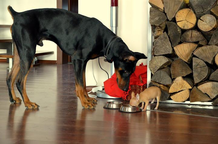 Chihuahua y Doberman