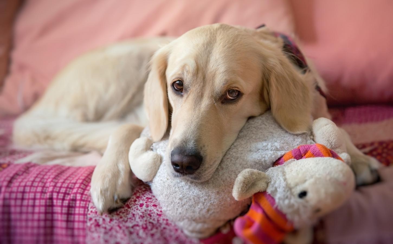 embarazo psicológico en perras