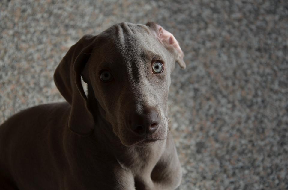 Limpiar oídos perro