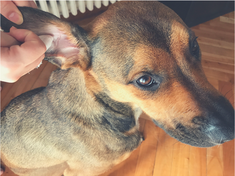 limpiar los oidos perro