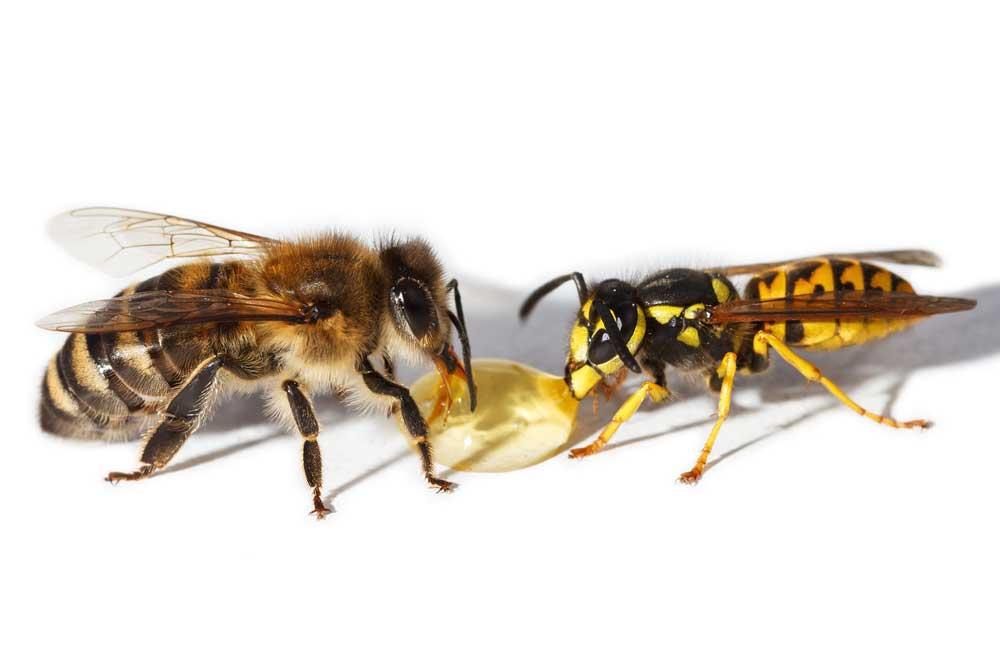 picadura avispa abeja