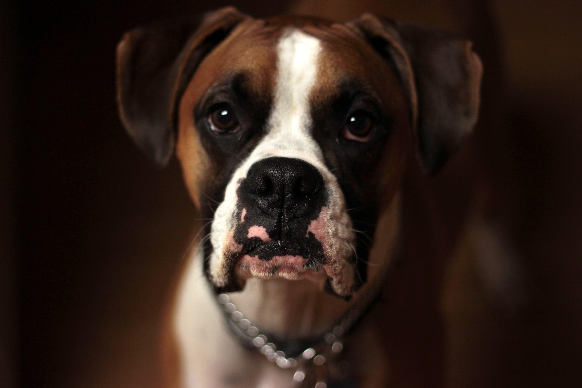Boxer perros braquicéfalos