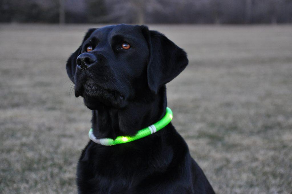 colliers lumineux pour chien