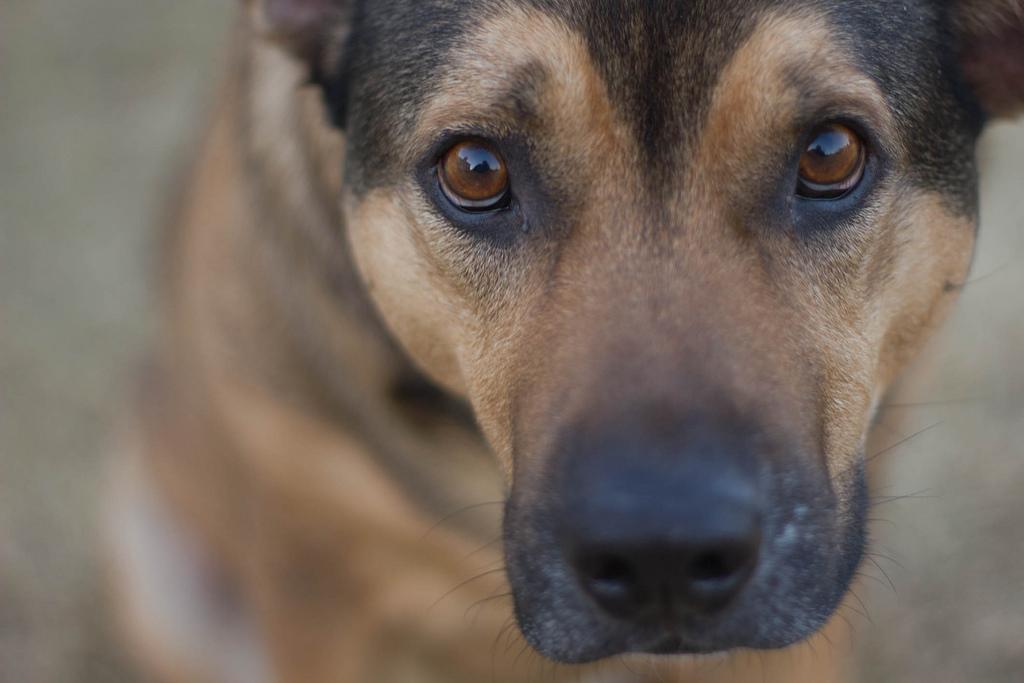 torsión gástrica perros