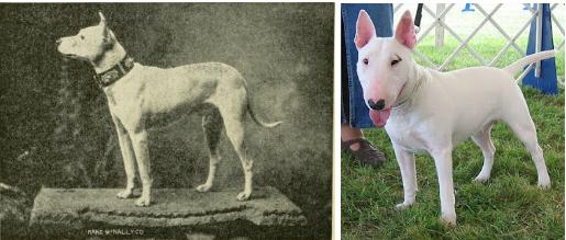 bull terrier razas de perro