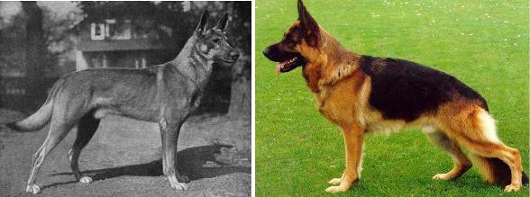 pastor alemán razas de perro