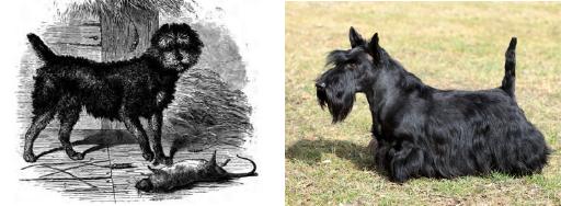 scottish terrier razas de perro