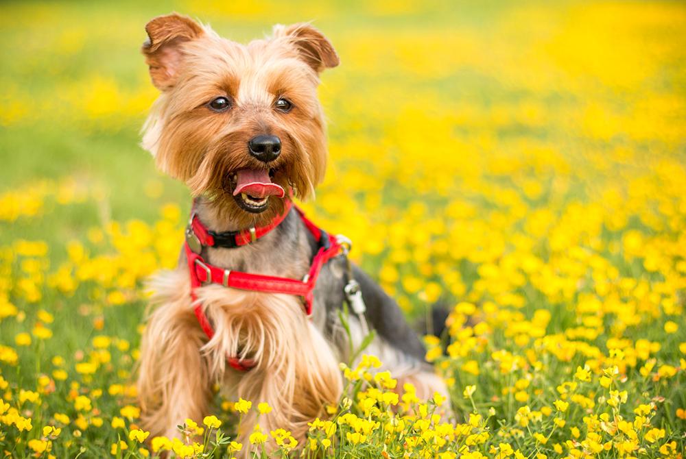 alergia estacional en perros