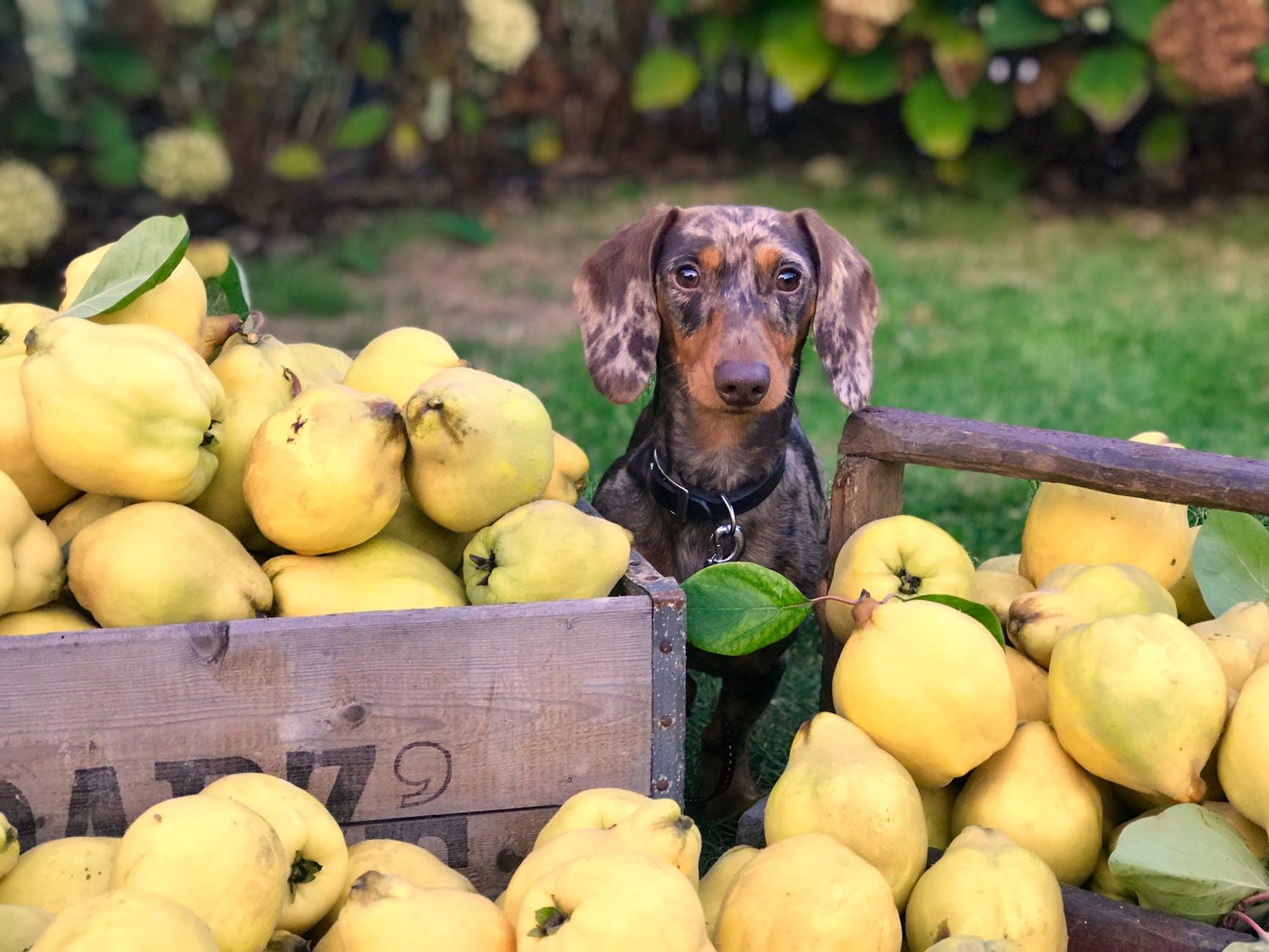 frutas perro