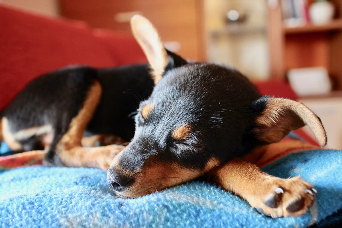 Un perro dormilón