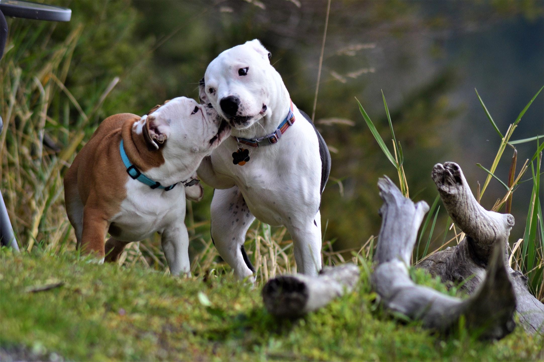 Perros en el campo